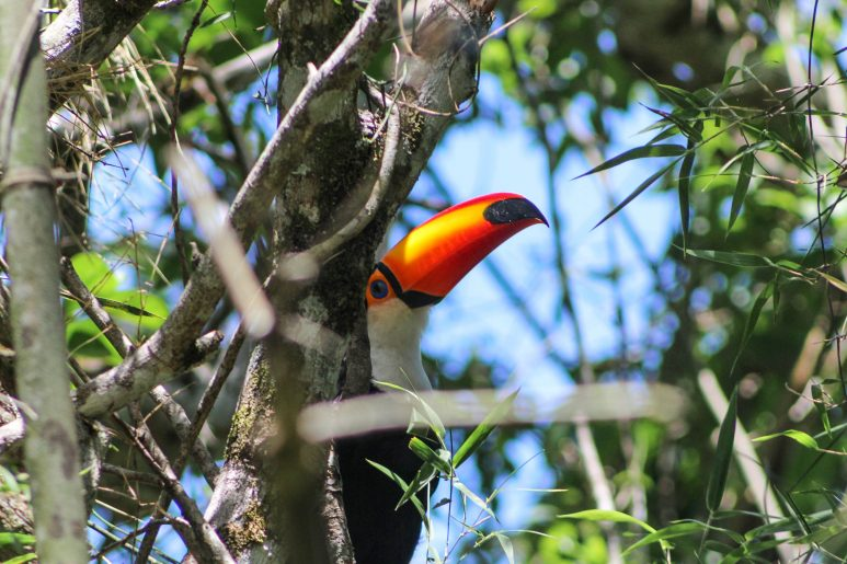 Shy toucan