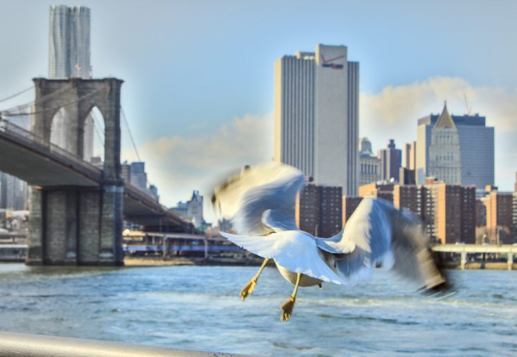 The seagull from Manhattan