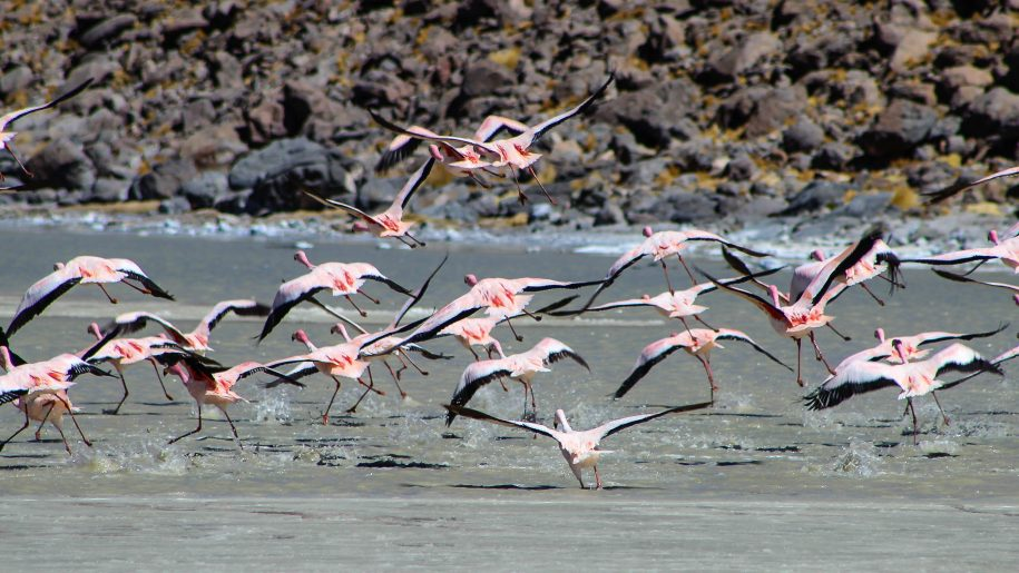 Flamingos take-off