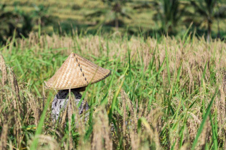 Hat in rice