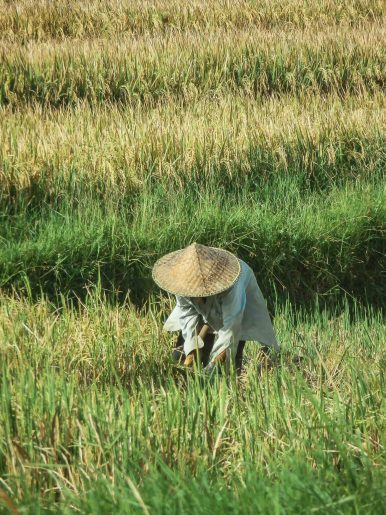 Inside the Bali rice fields