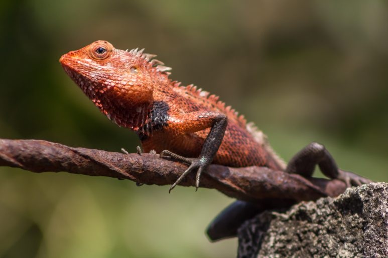 Urban chameleon