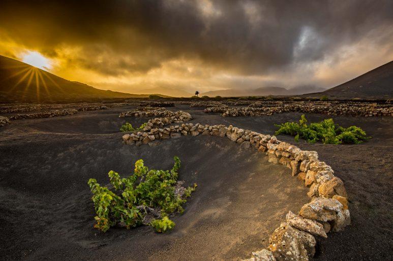 Volcanic vineyard II