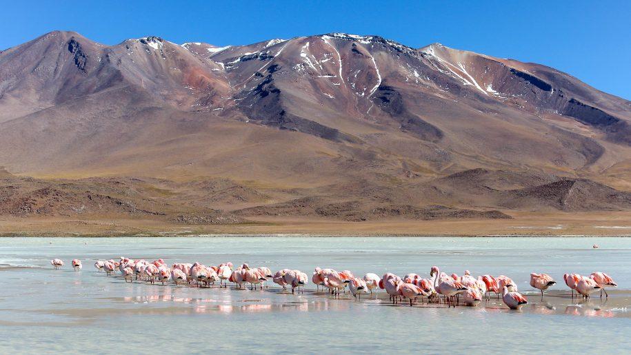 Flamingos colony