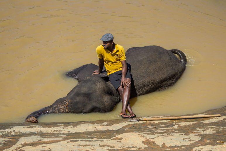 Elephant cornac