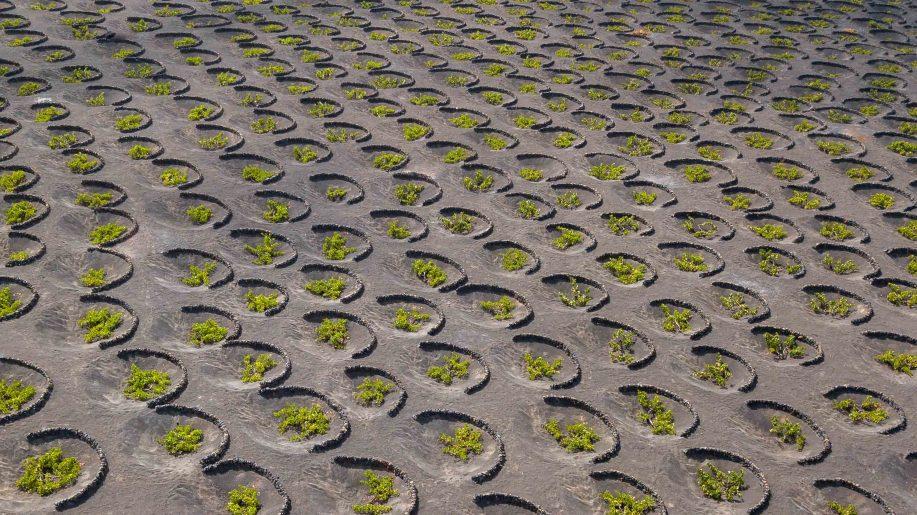 Canarian vineyards